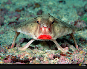 This is a red-lipped batfish. It is most likely a male
